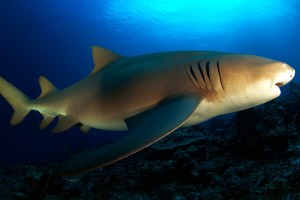 Silky_-Shark_French_Polynesia01