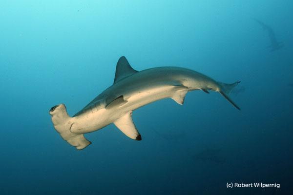 Hammerhead_shark _Galapagos