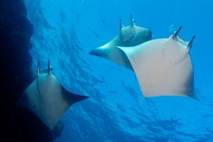 mantas-in-maldives