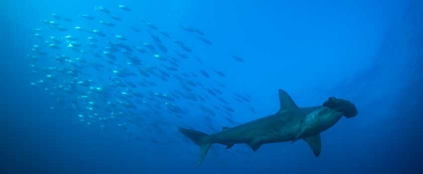 Hammerhead shark in the Marquesas Islands