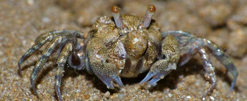Sand Bubbler Crab Feeding