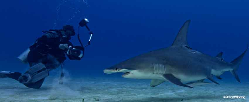 Dive with Hammerhead sharks