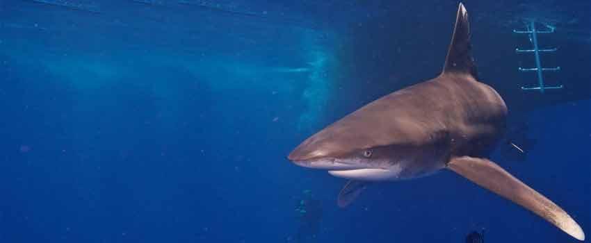 Oceanic white tip shark in Cat Island - Bahamas