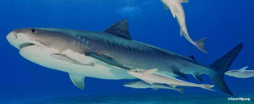 Tiger shark in Tiger Beach - Bahamas