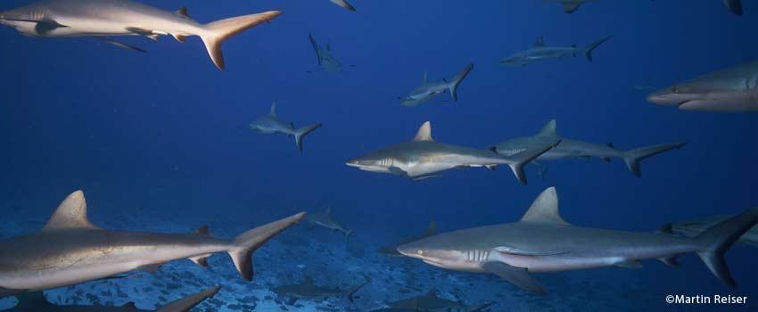 Wall of sharks in Fakarava
