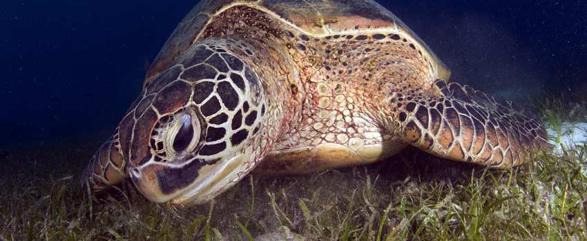 Turtle sea grass