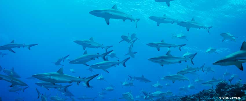 School of sharks in French Polynesia