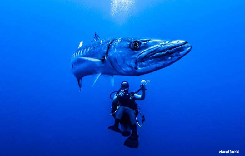Barracuda in the Red Sea