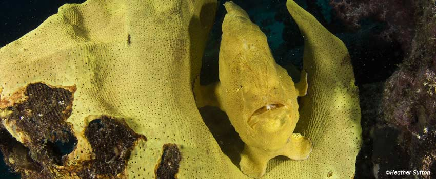 Frogfish on a sponge