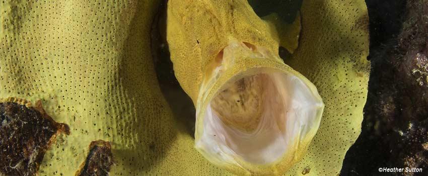 Frogfish yawning