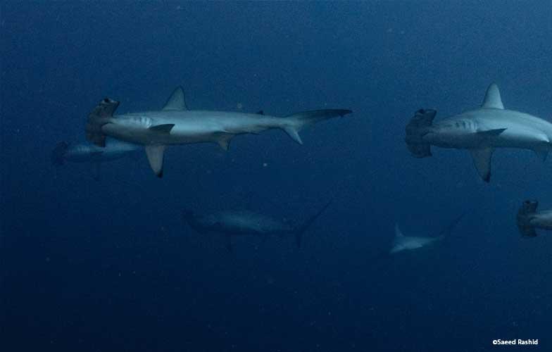 School of hammerhead sharks in the Red Sea