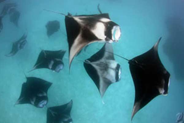 mantas in maldives