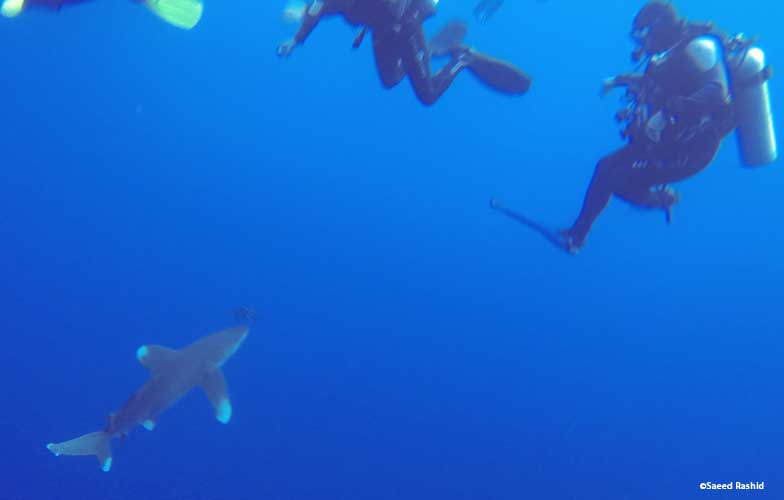 White tip oceanic shark in the Red Sea