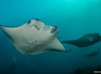 Mantas in the Maldives