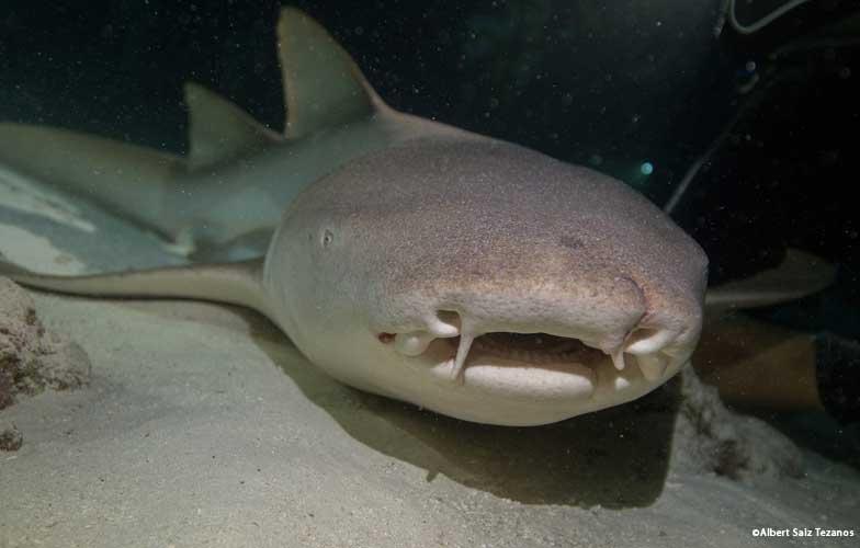 Nurse shark in the Maldives