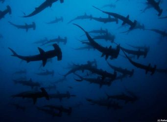 School of hammerhead sharks in the Galapagos