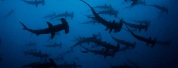 School of hammerhead sharks in the Galapagos