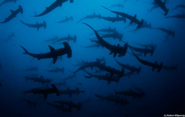 School of hammerhead sharks in Galapagos