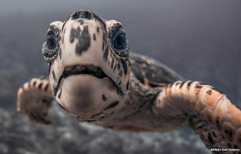 Turtle in the Maldives