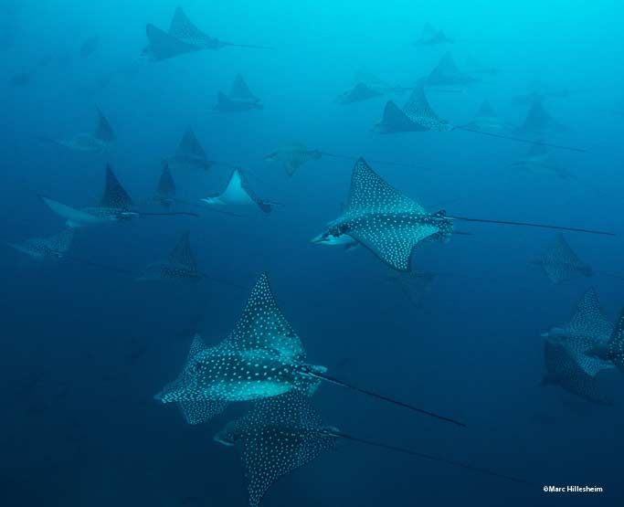 School of spotted eagle rays