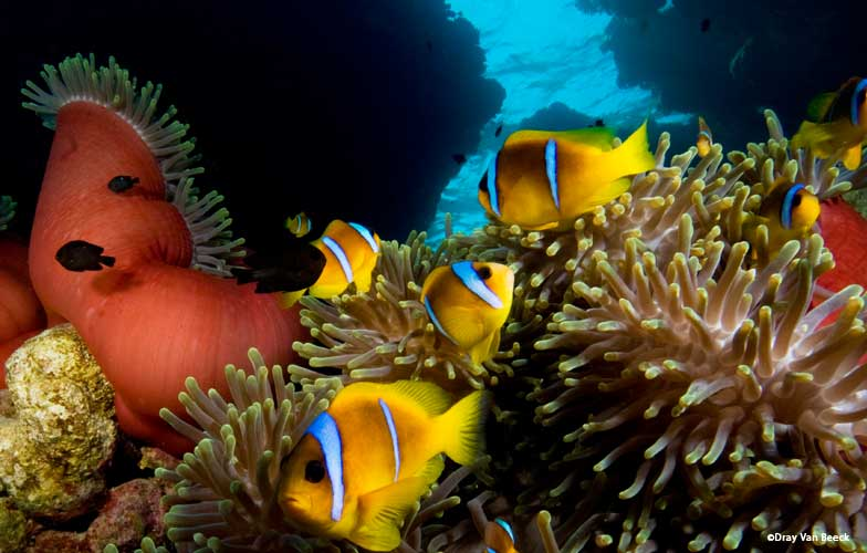 Anemone fish in the Red Sea