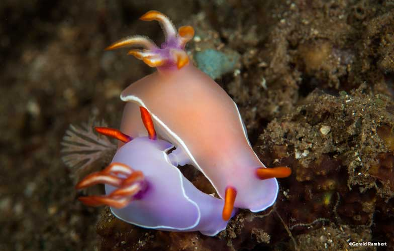 Nudibranch mating