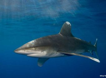 Oceanic white tip shark in the Red Sea