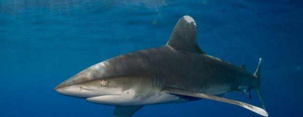 Oceanic white tip shark in the Red Sea
