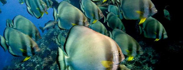 School of batfish in the Red Sea