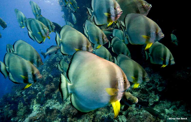 School of batfish in the Red Sea