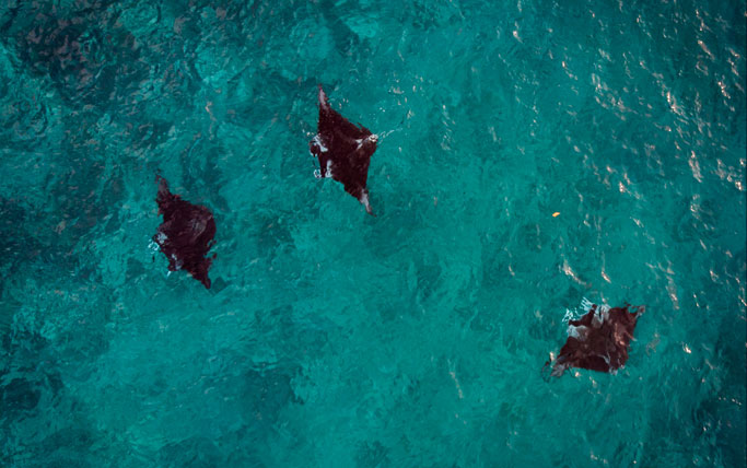 Three mantas at Devil's Highway in Solomon Islands