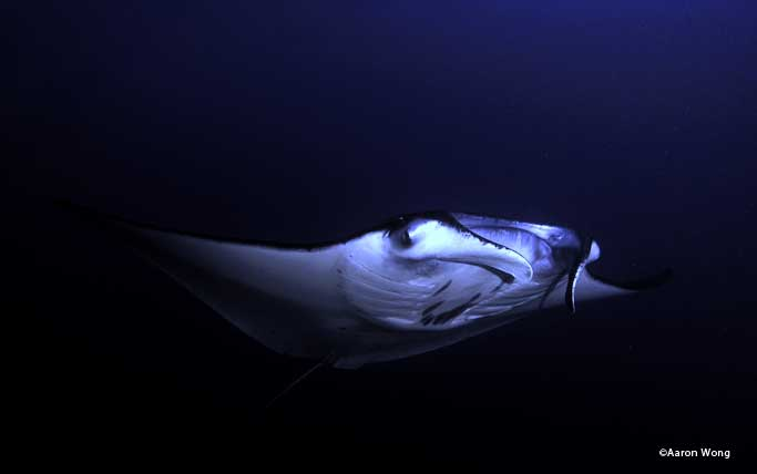 Mantas during a night dive.