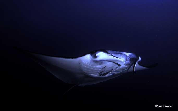 Mantas during a night dive.