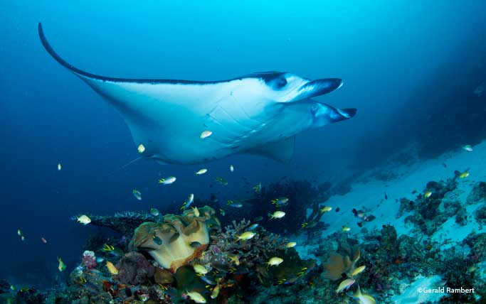Mantas swimming on top of a reef.